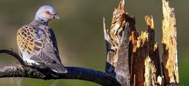 Tourterelle des bois - Oiseau de la forêt de Fontainebleau