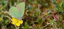 Argus vert - Thécla de la Ronce (Callophrys rubi) - Petit papillon vert