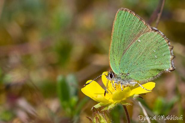 Argus vert - Thécla de la Ronce (Callophrys rubi) - Petit papillon vert - Photo
