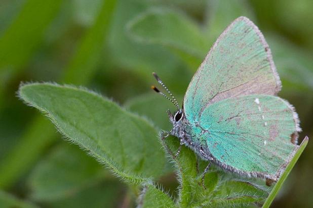Thècle de la ronce - Argus vert - Petit papillon vert - Photo