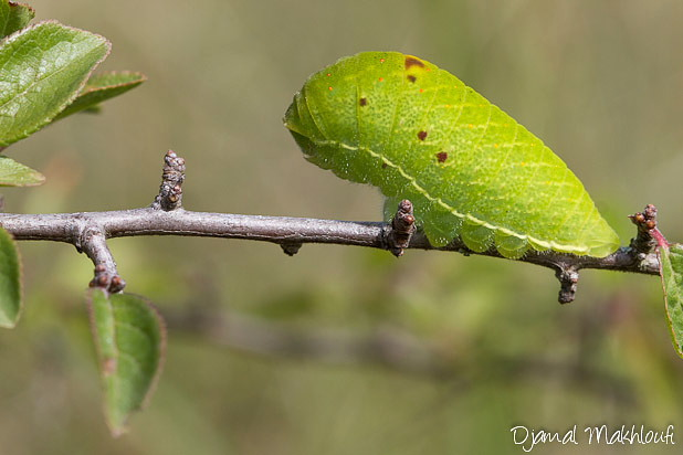 Chenille du papillon Flambé (Iphiclides podalirius) - Photo- Insecte de la forêt de Fontainebleau