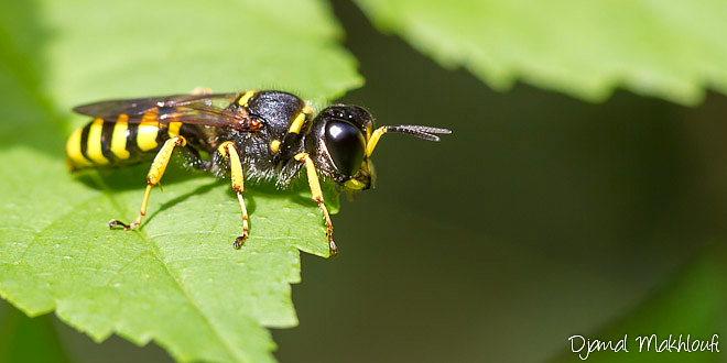 Ectemnius cephalotes - Insecte de la forêt de Fontainebleau