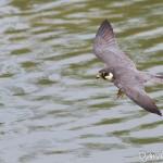 Faucon hobereau (Falco subbuteo) - Vol plané au dessus de l'eau