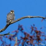 Jeune faucon hobereau observé courant août en forêt de Fontainebleau - photo