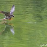 Faucon hobereau (Falco subbuteo) - Scène de capture d'une éphémère