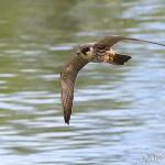 Recherche d'insectes du faucon hobereau