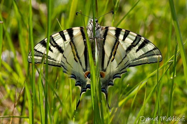 Papillon le Flambé (Iphiclides podalirius) - Photo