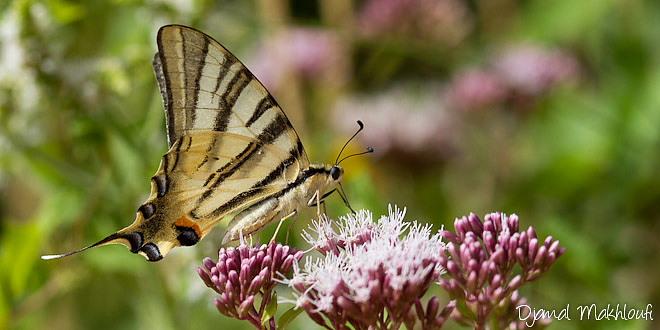 Papillon Flambé sur de l'eupatoire chanvrine