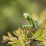 Mante religieuse - Insecte de la forêt de Fontainebleau