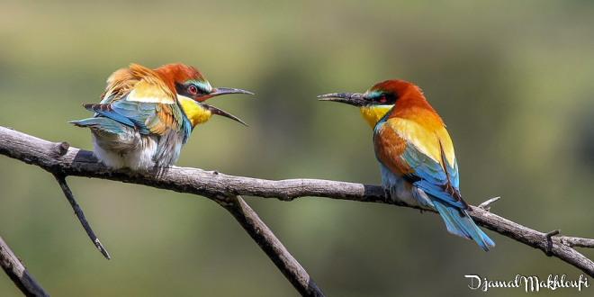 Couple Guêpiers d'Europe -Oiseaux insectivores de la forêt de Fontainebleau