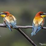 Couple de guêpier d'Europe - Oiseaux de la forêt de Fontainebleau
