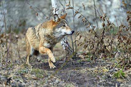 Le loup arrivera t'il en forêt de Fontainebleau ?