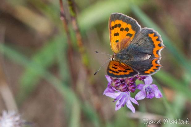Cuivré commun - Papillon précoce (forêt de Fontainebleau)