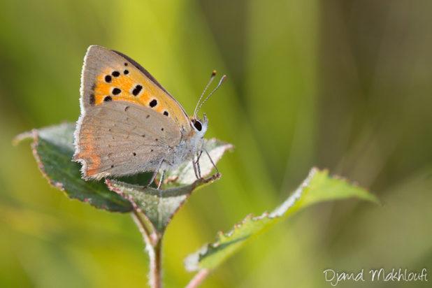 Petit papillon orange  - Cuivré commun (Lycaena phlaeas)