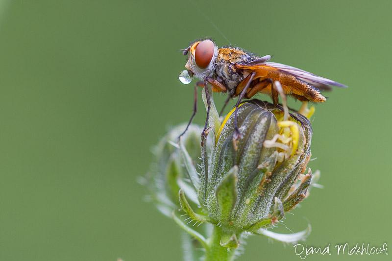 Mouche Ectophasia Crassipennis - Mouches extraordinaires (insecte volant)