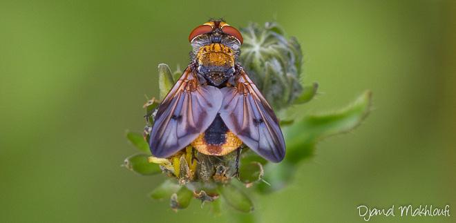 Mouche Ectophasia Crassipennis