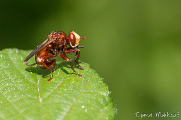 Sicus ferrugineux - Mouche extraordinaire - Insecte extraordinaire
