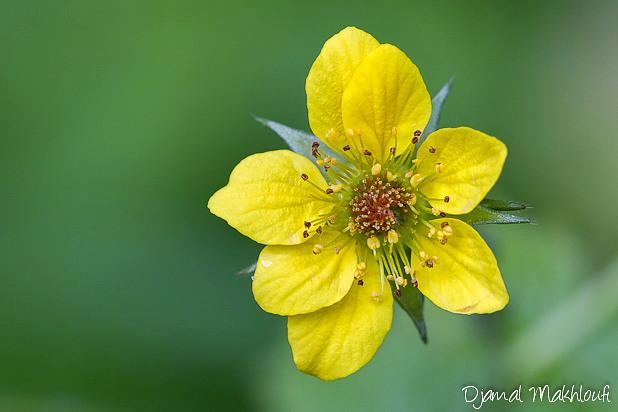 Benoite commune - Fleurs jaunes sauvages