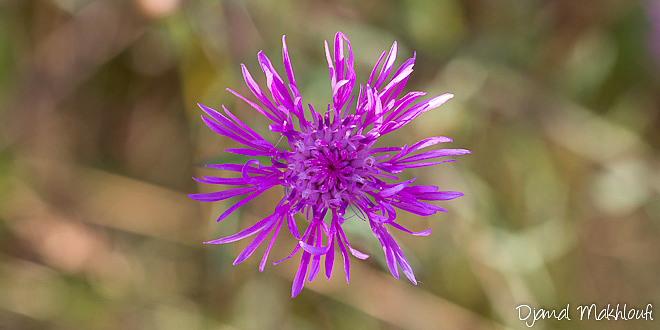 Centaurée Jacée - Fleurs sauvages roses