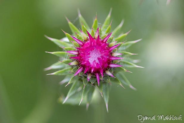 Chardon Penché - Fleur sauvage rose