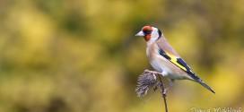 Chardonneret élégant - Oiseau de la forêt de Fontainebleau
