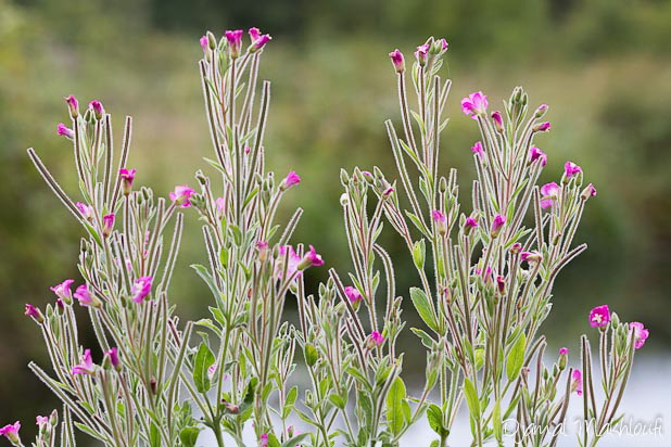 Epilobe des marais - fleur sauvage rose