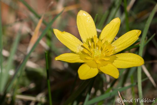 Ficaire fausse renoncule , Fleurs jaunes sauvages