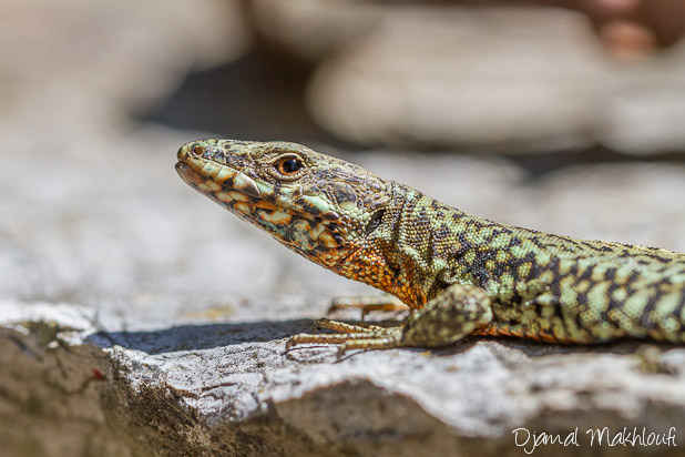 Lézard de muraille mâle - Photo