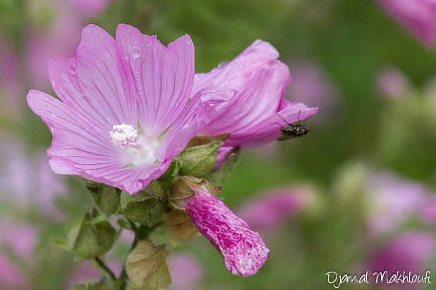 Mauve sylvestre , Fleurs sauvages roses