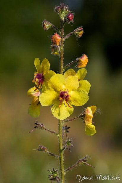 Molène noire - Fleurs sauvages jaunes