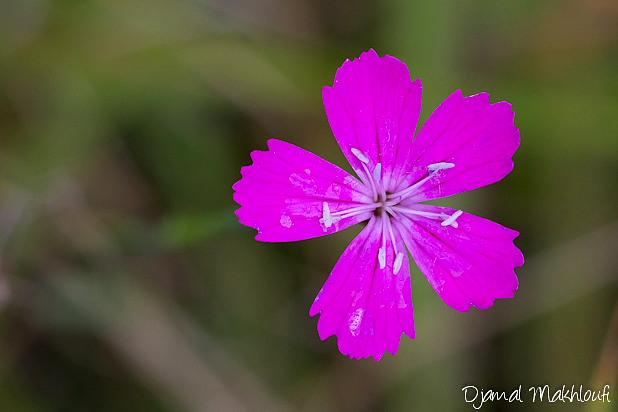 Oeillet des Chartreux - Fleur rose sauvage