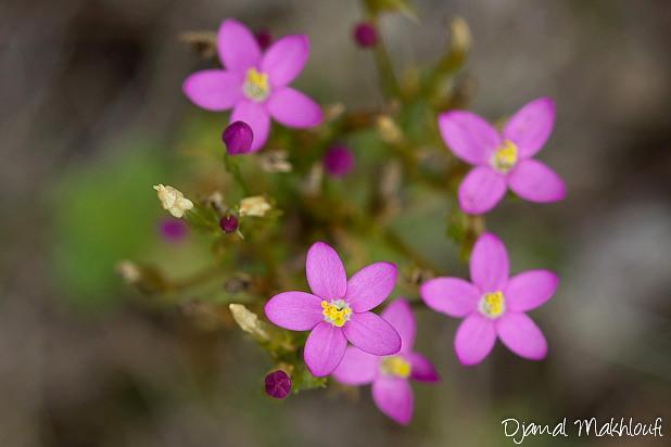 Petite centaurée commune - Fleurs sauvages roses