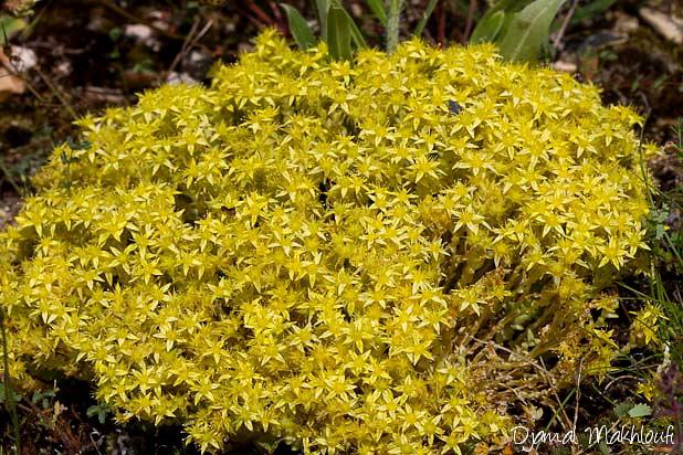 Poivre des murailles - Fleurs sauvages jaunes