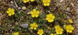 Potentille printanière - Fleurs jaunes sauvages