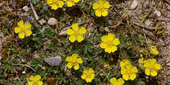 Potentille printanière , Fleurs jaunes sauvages