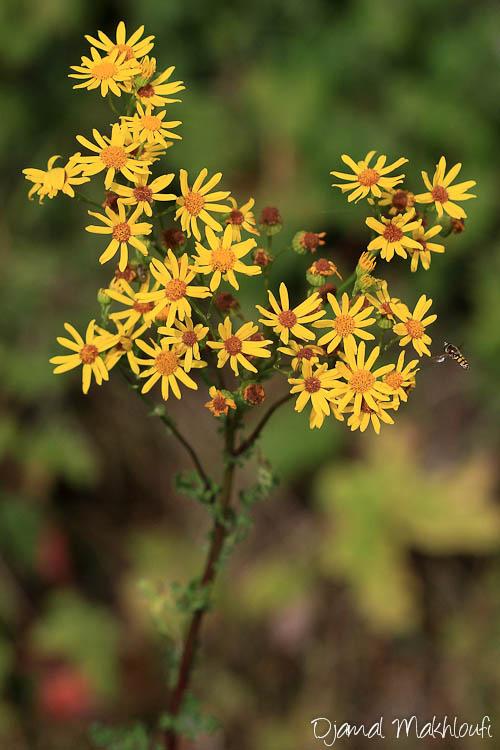 Sénéçon jacobée - Fleurs jaunes sauvages