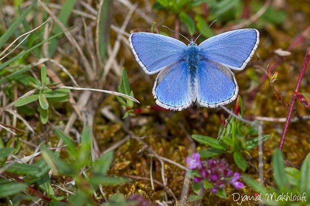 Argus bleu céleste - Lysandra bellargus - Papillons Argus