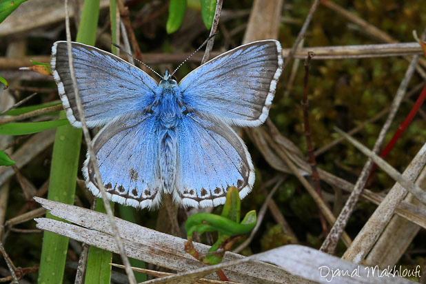 Azuré bleu nacré - Lysandra coridon - Papillons Argus