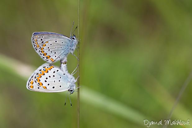 Azuré des coronilles - Plebejus argyrognomon - Papillons Argus