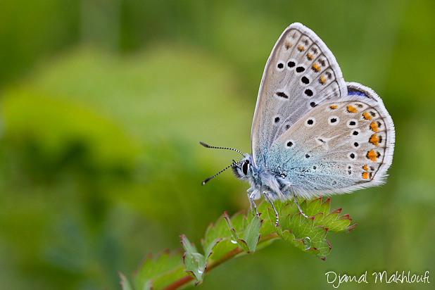 Azuré commun - Polyommatus icarus - Papillons Argus
