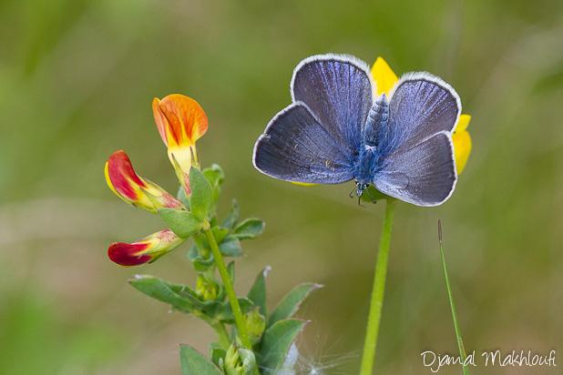 Argus frêle - Cupido minimus - Papillons Argus