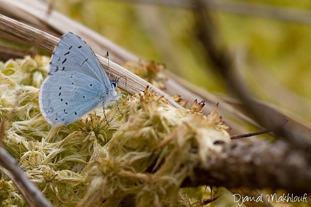 Azuré des nerpruns - Celastrina argiolus - Papillons Argus