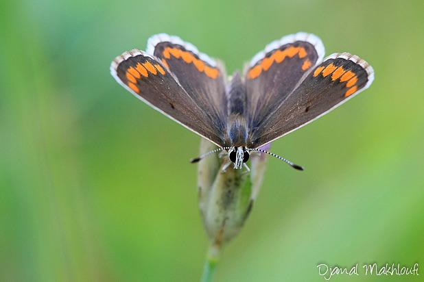 Collier de Corail - Aricia agestis - Papillons Argus