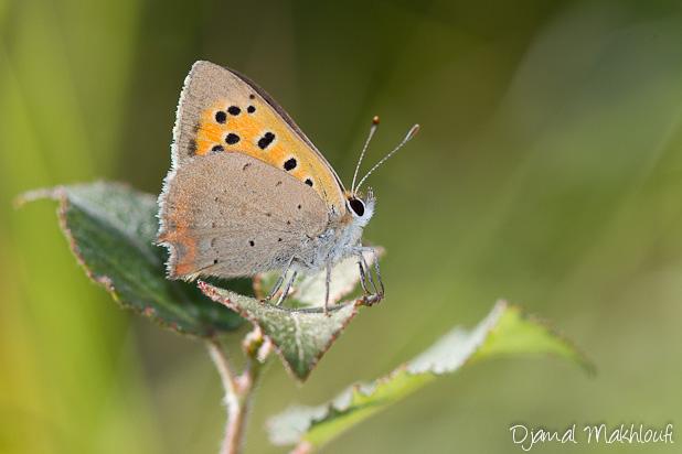 Cuivré commun - Lycaena phlaeas - Papillons Argus