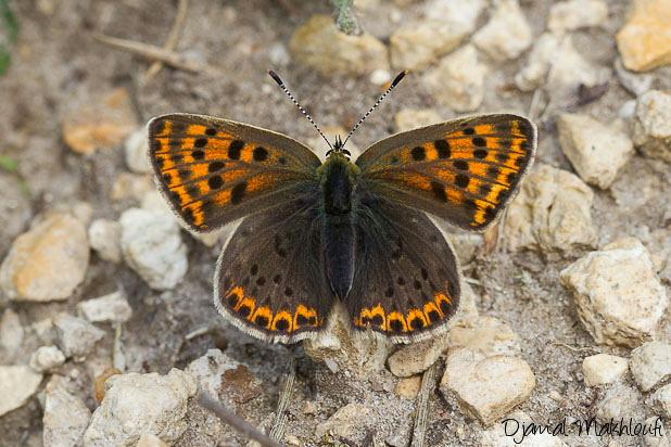 Cuivré fuligineux - Lycaena tityrus - Papillons Argus