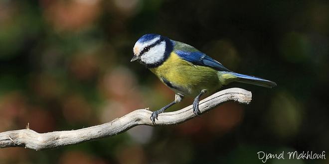 mésange bleue - boule de plume