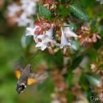 Sphinx colibri butinant à la fin de l'été