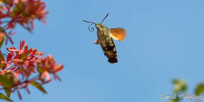 Sphinx colibri - Papillon - Moro Sphinx