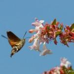 Moro-Sphinx (Macroglossum Stellatarum) - Papillon de la forêt de Fontainebleau