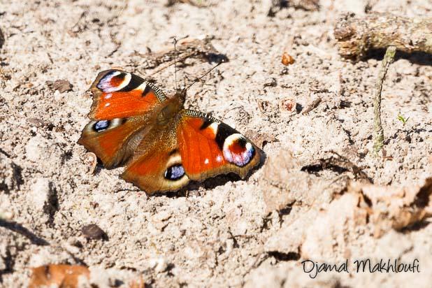 Paon du jour - Papillon rouge et bleu